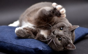 Picture cat, cat, look, pose, grey, background, paw, lies, pillow, British, funny, wild, thick