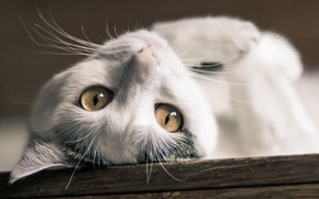 Picture cat, eyes, cat, lies, white