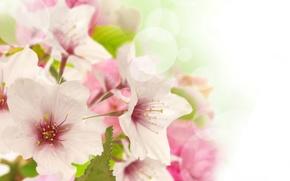 Picture flowers, beauty, spring, petals, gentle, pink, white, white, Apple, buds, flowering, pink, flowers, leaves, tree, …