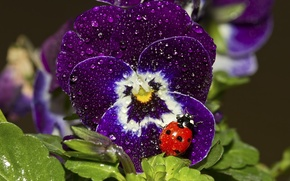 Picture Purple, Flowers, Macro, Leaves, Water Drops, Lady Bug