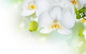 Wallpaper flowers, tenderness, beauty, petals, white, white, orchids, buds, Orchid, flowers, beauty, Phalaenopsis, phalaenopsis, Orchid, petals, ...