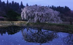 Picture pond, reflection, Sakura, Japan, flowering, Kawachi Fuji gardens