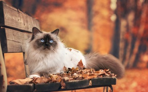Picture autumn, cat, leaves, bench, Park