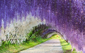 Picture Japan, Wisteria, Wisteria, flower tunnel, flower tunnel, Kawachi Fuji Gardens