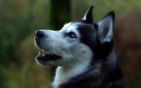 Picture Dog, with blue eyes, white-black, nyashny)