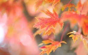 Picture leaves, glare, background, tree, branch, red, maple, autumn