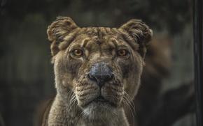 Wallpaper eyes, face, Leo, nose, fur, ears, lioness