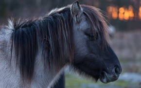 Picture face, horse, mane, pony, profile, bangs