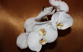 Picture flowers, Phalaenopsis, white Orchid