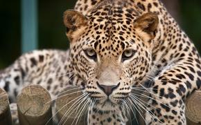 Picture cat, look, face, leopard