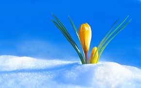 Wallpaper Bud, Krokus, snow, spring