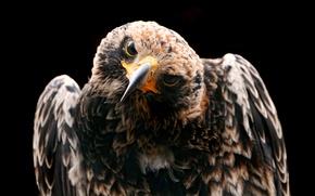 Wallpaper Bird, Eagle, Looks