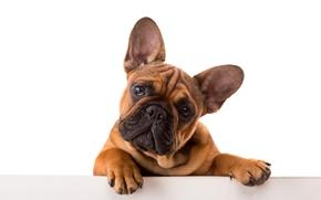 Picture Dog, Look, Bulldog, Animals