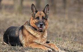 Picture handsome, dog, shepherd