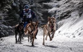 Wallpaper dogs, race, sport