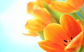 Picture macro, flowers, tulips, orange