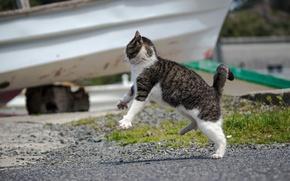 Picture cat, attack, Koshak, Tomcat