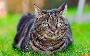 Picture grass, tabby, tabby