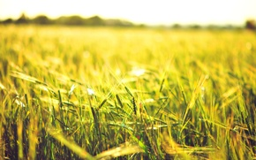 Picture wheat, field, the sun, macro, background, widescreen, Wallpaper, rye, spikelets, wallpaper, ears, field, widescreen, background, …