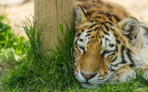 Picture cat, grass, stay, the Amur tiger