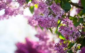 Picture the sky, flowers, Bush, spring, lilac