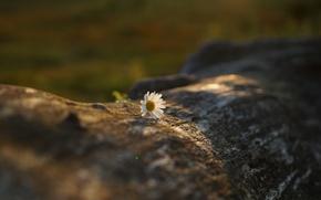 Wallpaper bokeh, Daisy, white, flower, log