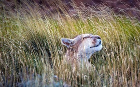 Wallpaper grass, Torres del Paine, Puma, National Park, Chile, cat
