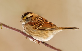 Picture bird, branch, Sparrow