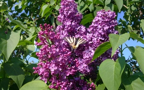 Picture butterfly, spring, lilac
