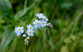 Picture grass, flowers, blue, green, forget-me-nots