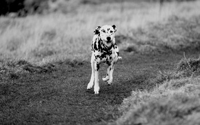 Picture dog, Dalmatians, running, the way, field