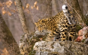 Wallpaper movement, blur, muzzle, leopard, kitty