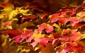 Picture autumn, leaves, nature, carpet, maple