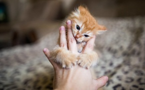 Picture kitty, hand, blur, Red