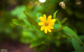 Picture flower, yellow, stem, photographer, Aaron Woodall