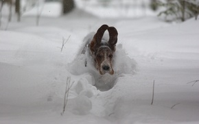 Picture snow, speed, dog, flight, ears