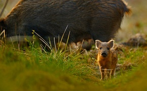 Picture grass, nature, England, pig, Gloucestershire, wild boar