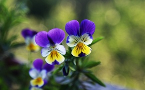 Picture purple, yellow, green, Pansy, two