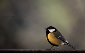 Picture bird, branch, yellow, titmouse, tit