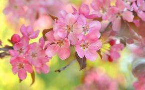 Picture macro, cherry, branch, flowering, flowers, bokeh