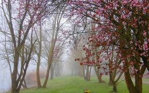 Picture fog, Park, Spring, flowering, trees, park, fog, spring, flowering