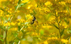 Picture flower, OSA, August, goldenrod