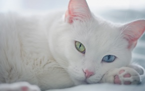 Picture look, muzzle, different eyes, white cat
