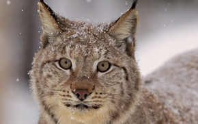 Wallpaper look, Lynx, snow