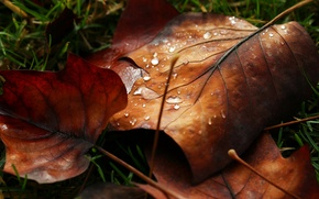 Picture leaves, water, macro, Rosa, drop, leaf, leaf, nature, water, autumn, macro, drops, leaf, dew, leave