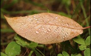 Picture autumn, grass, Rosa, Sheet