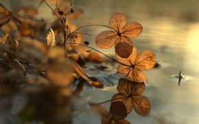 Picture bokeh, puddle, hydrangea, reflection, macro