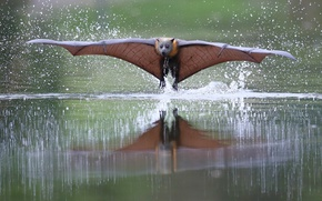 Picture water, wings, Fox, the rise, flying Fox