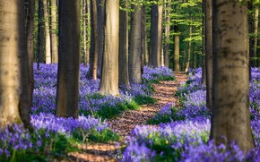 Picture forest, flowers, spring, April, Belgium, Hyacinthoides