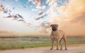 Picture look, each, dog, Bullmastiff